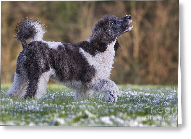 Dog In Snow Greeting Cards - Harlequin Poodle Puppy Greeting Card by Johan De Meester