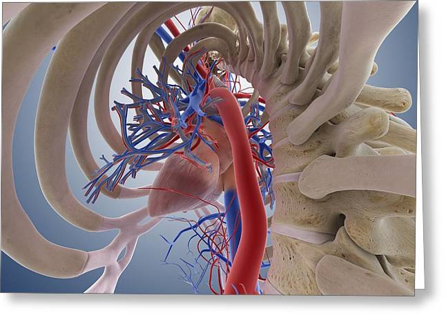 Cava Greeting Cards - Heart-lung system, artwork Greeting Card by Science Photo Library