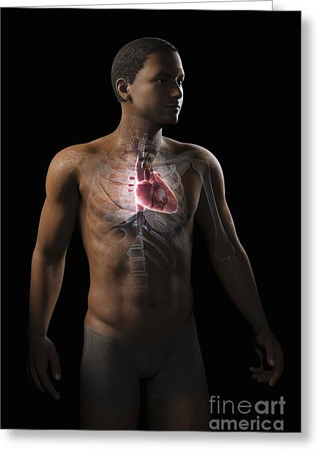 Digital Artery Greeting Cards - Heart Within The Chest Greeting Card by Science Picture Co