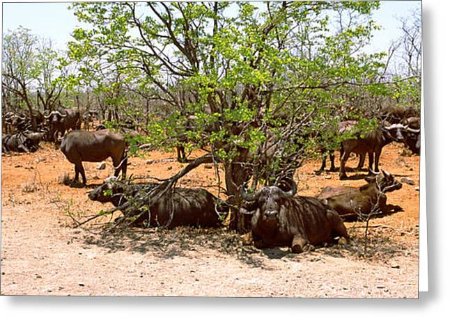 Bare Trees Greeting Cards - Herd Of Cape Buffaloes Syncerus Caffer Greeting Card by Panoramic Images