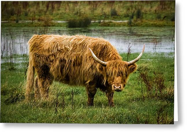 Highlands Greeting Cards - Highland Cow Greeting Card by Ian Hufton