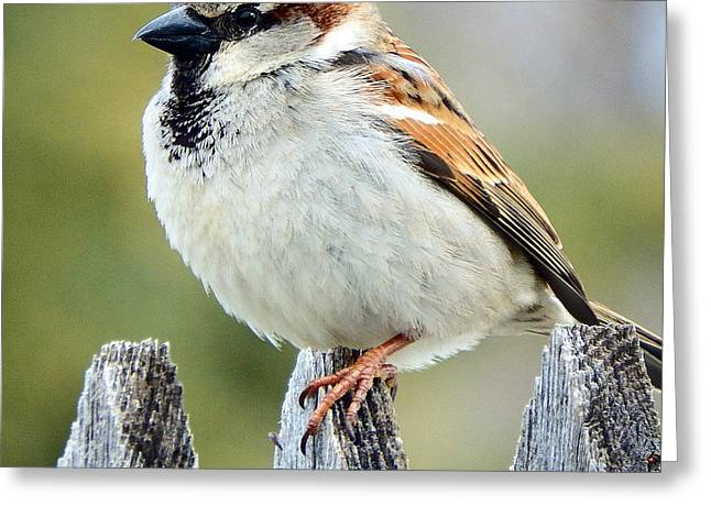 House Sparrow Greeting Card by David G Paul