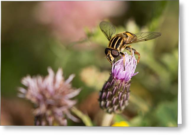 Fauna Greeting Cards - Hoverfly Greeting Card by Robert Carr