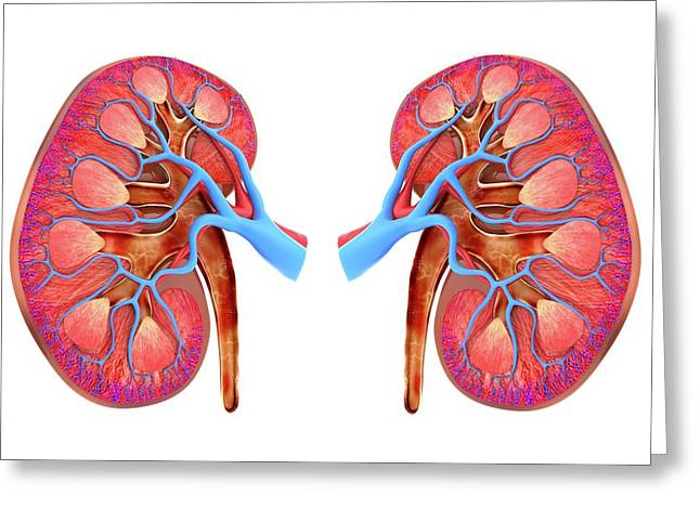 Human Kidneys Greeting Card by Alfred Pasieka