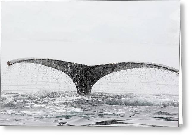 Humpback Whales Feeding On Krill Greeting Card by Ashley Cooper