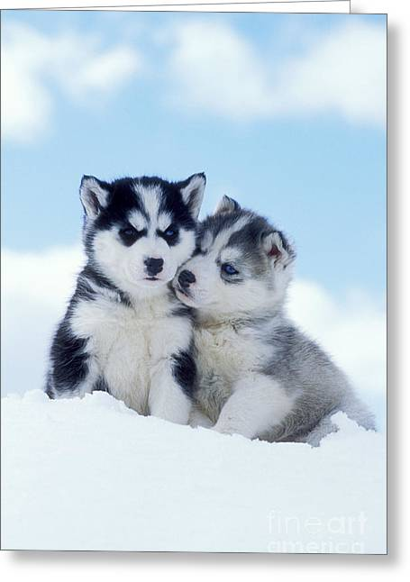 Husky Puppy Greeting Cards - Husky Puppy Dogs Greeting Card by Rolf Kopfle