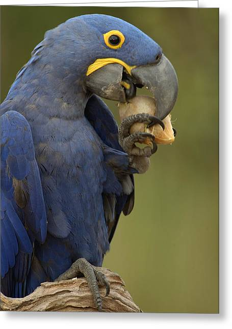 Macaw Profile Greeting Cards - Hyacinth Macaw Eating Piassava Palm Nuts Greeting Card by Pete Oxford