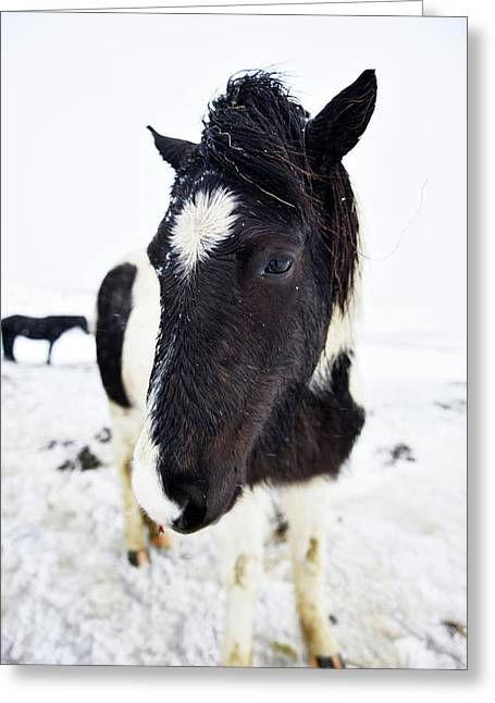 Icelandic Horse Greeting Card by Dr P. Marazzi