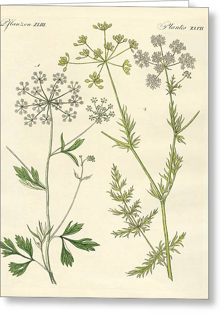 Spice Drawings Greeting Cards - Indigenous spice plants Greeting Card by Splendid Art Prints