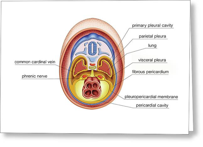 Intra-embryonic Cavities Greeting Card by Asklepios Medical Atlas