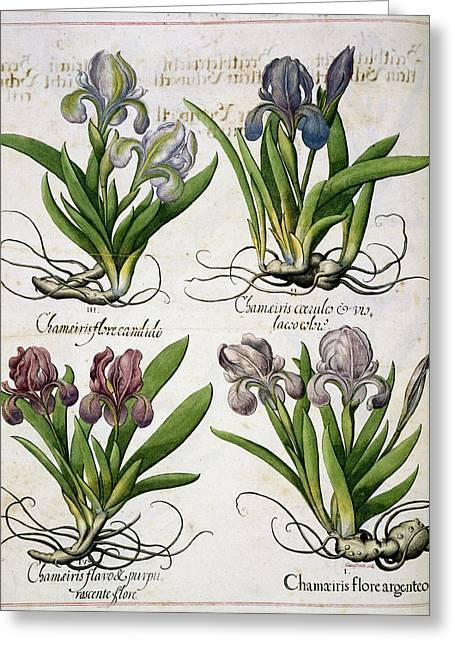 Iris Greeting Card by British Library