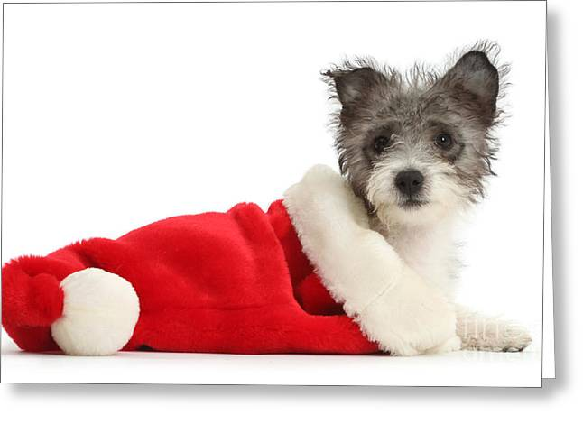 Westie Pups Greeting Cards - Jack Russell X Westie Pup Wearing Greeting Card by Mark Taylor