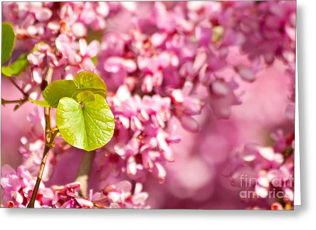 Cercis Greeting Cards - Judas Tree Flower And Leaves Greeting Card by Leyla Ismet