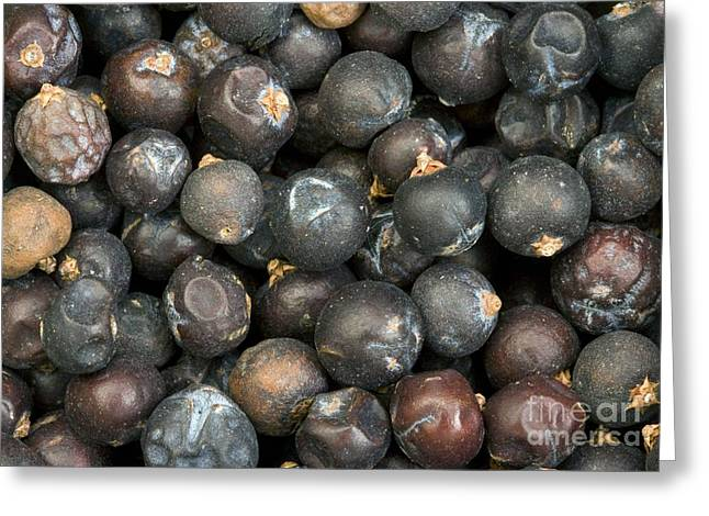 Black Berries Greeting Cards - Juniper Berries Juniperus Communis Greeting Card by Bob Gibbons
