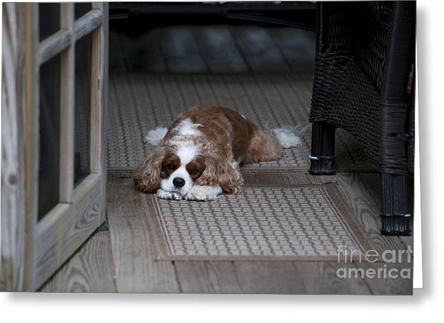 Spaniel Greeting Cards - Cavalier King Charles Greeting Card by Dale Powell