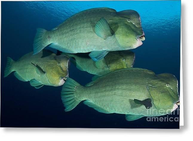 Large School Of Bumphead Parrotfish Greeting Card by Steve Jones
