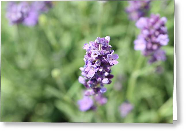 Southern France Greeting Cards - Lavender Greeting Card by Heike Hultsch