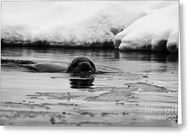 Fournier Greeting Cards - leopard seal hydrurga leptonyx swimming in Fournier Bay between pack ice Antarctica Greeting Card by Joe Fox
