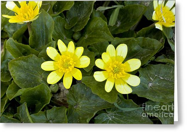 Bey Greeting Cards - Lesser Celandine Ranunculus Ficaria Greeting Card by Bob Gibbons