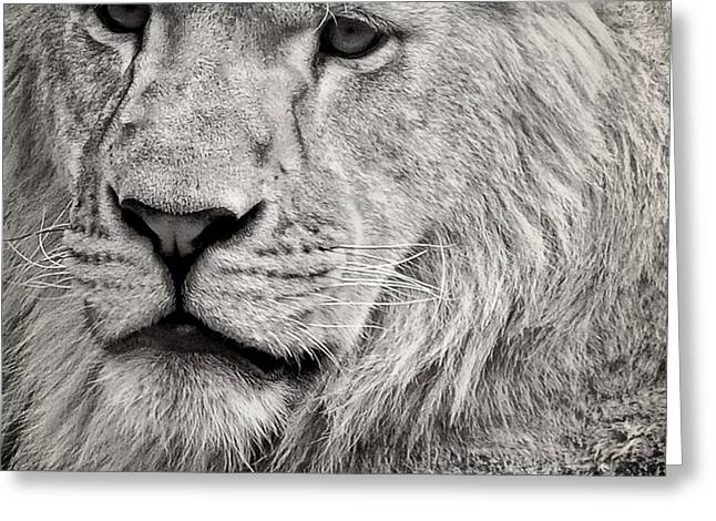 Lion Greeting Card by HD Connelly