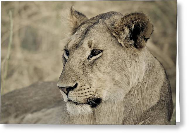 Lioness  Greeting Card by Mesha Zelkovich
