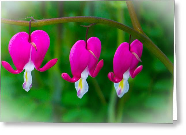 Essex Greeting Cards - Bleeding Hearts Greeting Card by Martin Newman