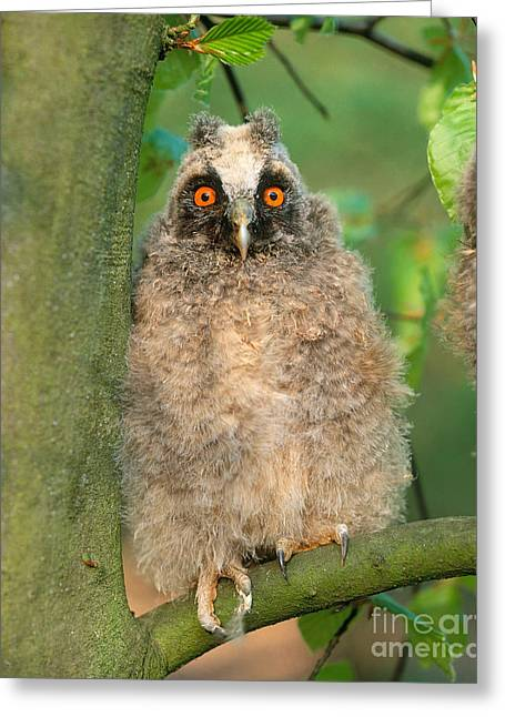 Baby Bird Greeting Cards - Long Eared Owl Greeting Card by Hans Reinhard