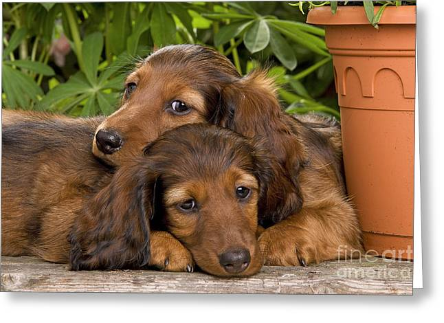 Best Friend Greeting Cards - Long-haired Dachshunds Greeting Card by Jean-Michel Labat