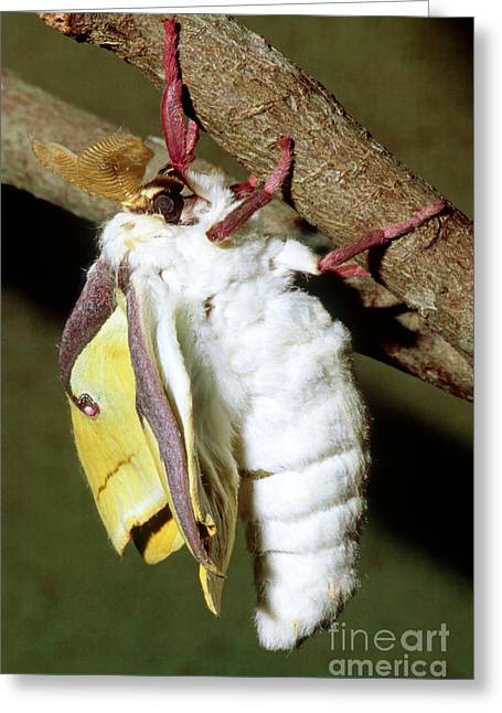 Cocoon Greeting Cards - Luna Moth Greeting Card by Millard H. Sharp