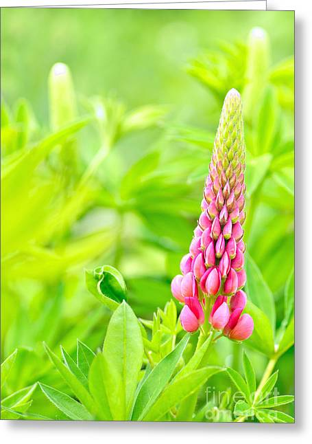 Floral Photographs Greeting Cards - Lupin flower Greeting Card by Martin Capek
