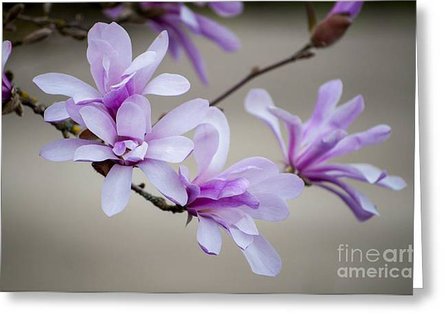 Silverton Greeting Cards - Magnolia Blossoms Greeting Card by Mandy Judson