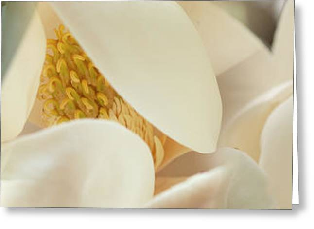 Stamen Greeting Cards - Magnolia Flowers Greeting Card by Panoramic Images