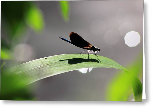 Demoiselles Greeting Cards - Male banded demoiselle Greeting Card by Turnip Towers