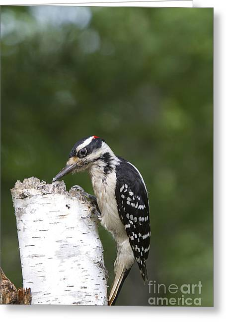 Hairy Woodpecker Greeting Cards - Male Hairy Woodpecker Greeting Card by Linda Freshwaters Arndt