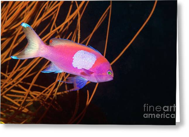 Brightly Colored Fish Greeting Cards - Male Square-spot Fairy Basslet Greeting Card by Georgette Douwma