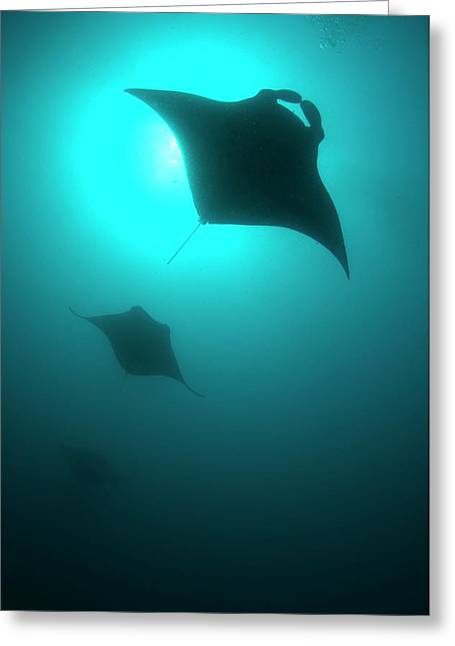 Manta Rays In The Maldives Greeting Card by Scubazoo
