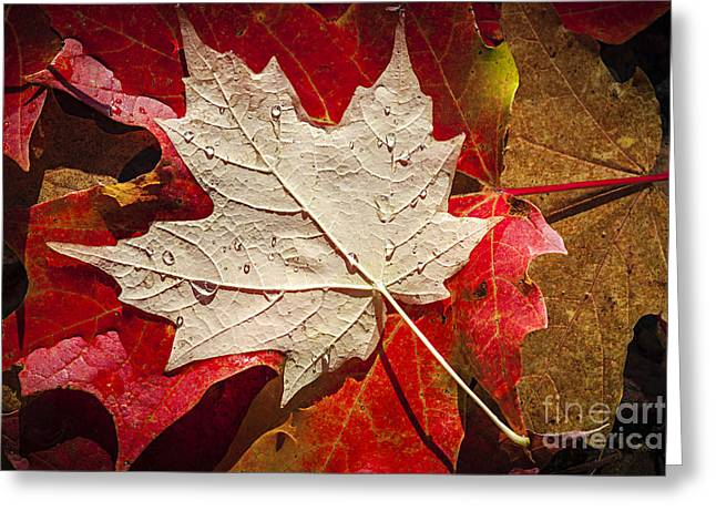 From Above Greeting Cards - Maple leaves in water Greeting Card by Elena Elisseeva