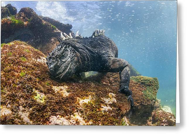 Marine Iguana Feeding On Algae Punta Greeting Card by Tui De Roy