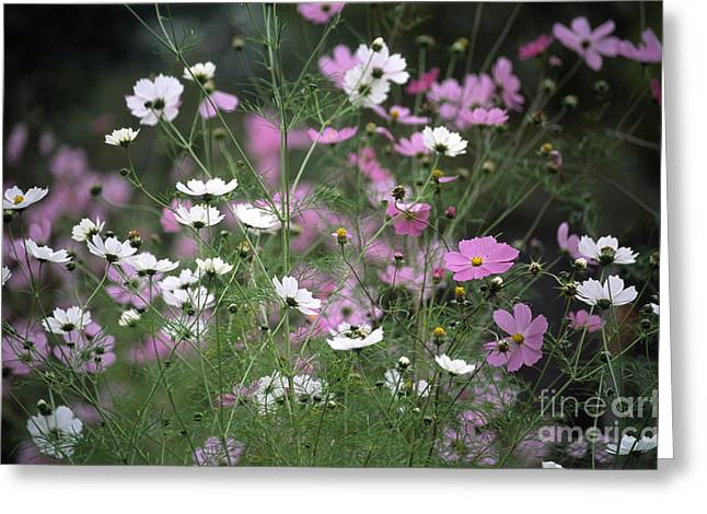 Aster Greeting Cards - Mexican Aster Cosmos Bipinnatus Greeting Card by Dr. Nick Kurzenko