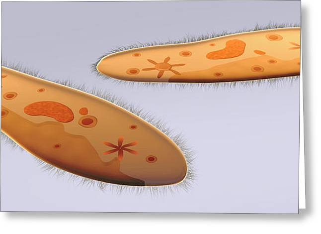 Contractile Vacuole Greeting Cards - Microscopic View Of Paramecium Greeting Card by Stocktrek Images