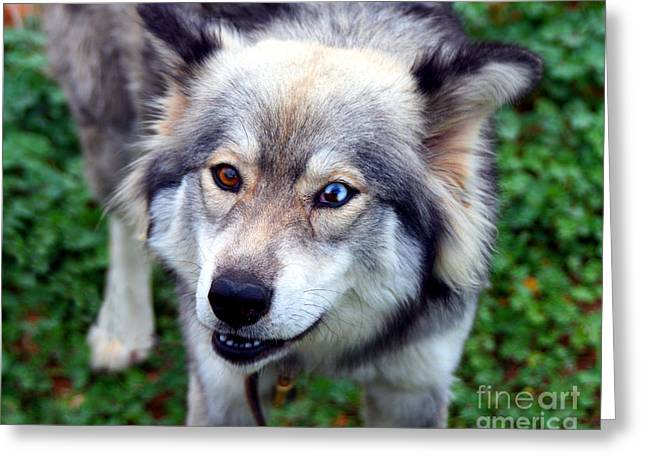 Husky Greeting Cards - Miley The Husky With Blue and Brown Eyes Greeting Card by Michael Braham