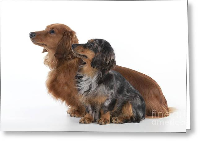 Canid Greeting Cards - Miniature Long-haired Dachshunds Greeting Card by John Daniels