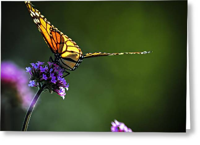 Sat Greeting Cards - Monarch butterfly Greeting Card by Elena Elisseeva