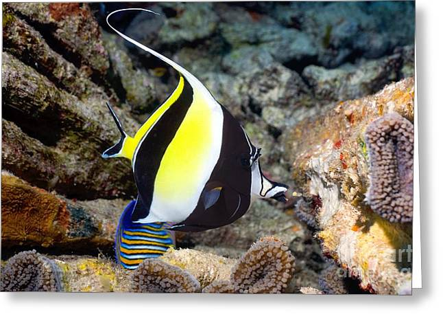 Bony Fish Greeting Cards - Moorish Idol Greeting Card by Georgette Douwma