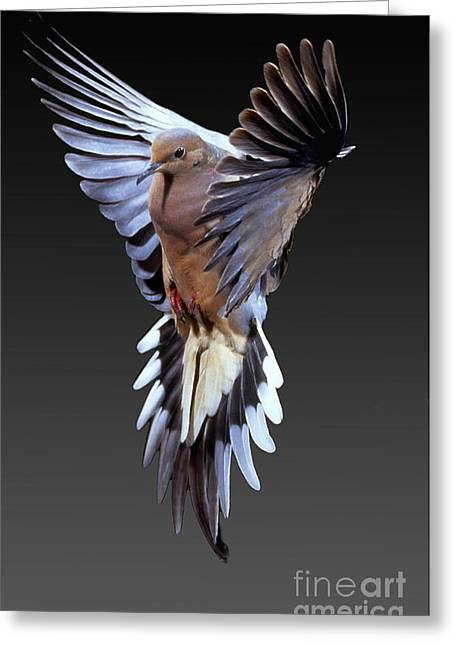 Enhanced Greeting Cards - Mourning Dove Greeting Card by Anthony Mercieca