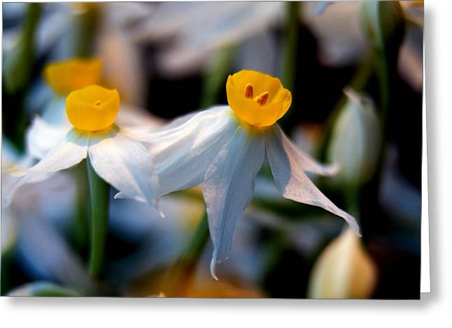 Stamen Greeting Cards - Narcissus tazetta Greeting Card by Stylianos Kleanthous