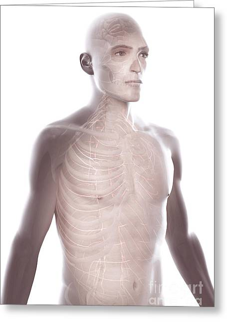 Cerebral Hemisphere Greeting Cards - Nerves Of The Upper Body Greeting Card by Science Picture Co