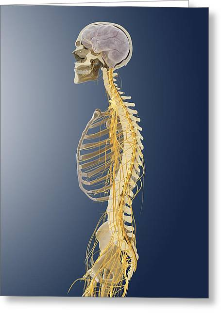 Sciatic Nerves Greeting Cards - Nervous system, artwork Greeting Card by Science Photo Library