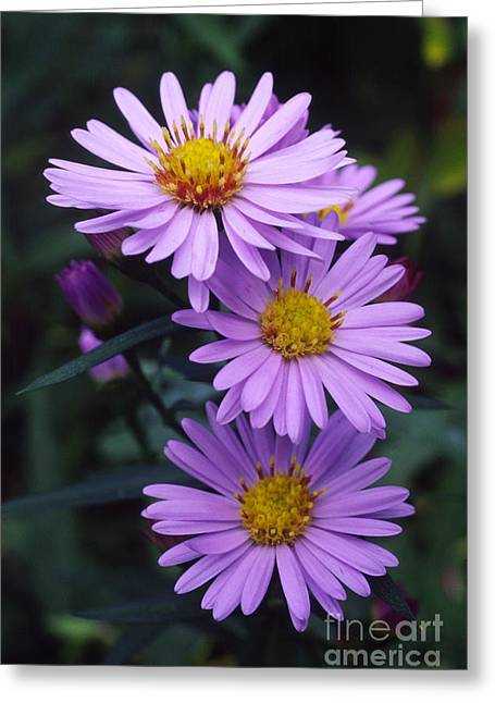 Asters Greeting Cards - New York Aster Flowers Aster Sp Greeting Card by Dr. Nick Kurzenko