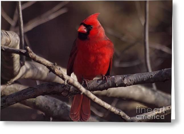 Male Northern Cardinal Greeting Cards - Northern Cardinal Greeting Card by Frank Piercy